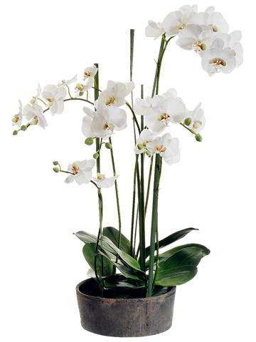 37 in Phalaenopsis Santa Barbara