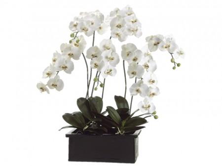 42 in Phalaenopsis Santa Barbara
