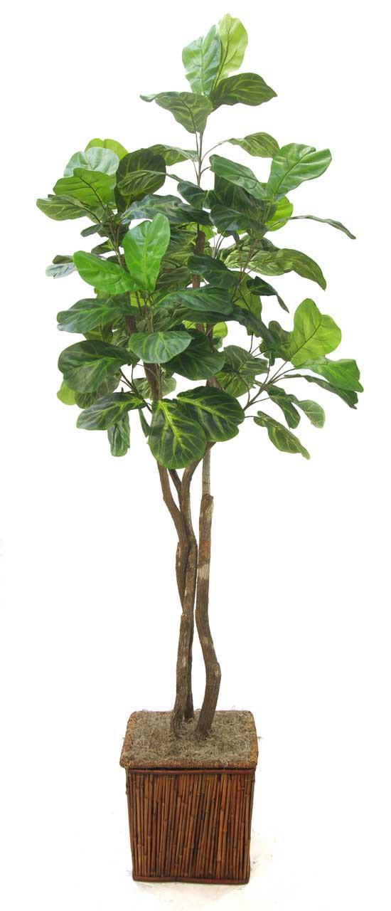 Fiddle Leaf Fig Tree Santa Barbara