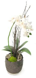 Philaenopsis Orchid Santa Barbara